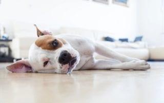 Canine Flu Alert 2017 | Harmony Animal Hospital