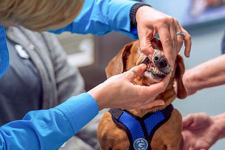 Vet examining a dog's teeth.