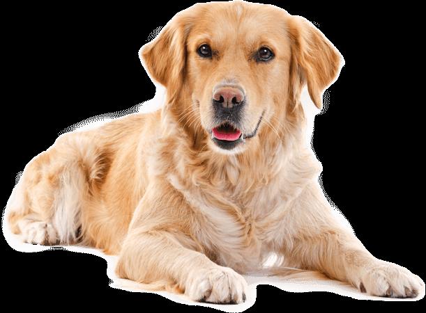 golden retriever visits Apex NC veterinarian Harmony Animal Hospital