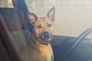 pets in hot cars, heatstroke